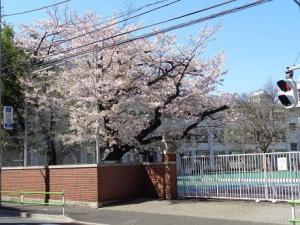 中等部・桜.JPG